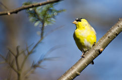 Male Goldfinch Perched in a Tree Royalty Free Stock Image
