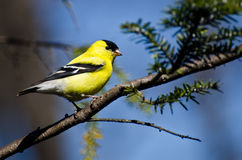 Male Goldfinch Perched in a Tree Royalty Free Stock Photo