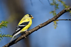 Male Goldfinch Perched in a Tree Royalty Free Stock Photography