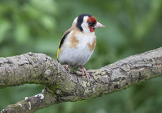 Male Goldfinch Stock Photo