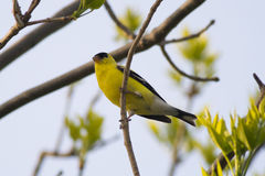 Male Goldfinch Perched in a Tree. A bright yellow goldfinch perched in a tree at sunrise Royalty Free Stock Photos