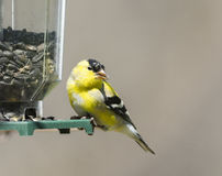 Male Goldfinch Transitioning to Summer Plumage Stock Photography