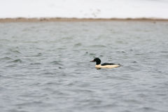 Male Goosander. Swimming in winter Stock Photo