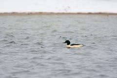 Male Goosander. Swimming in winter Stock Photo