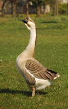 Male goose Stock Image