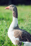 The male of a goose in a grass Stock Images