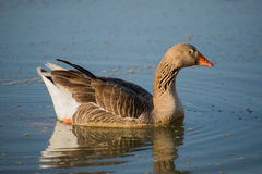 Male goose on river Stock Image