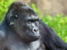 Male gorilla. Close up of a big male gorilla Stock Image