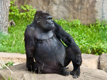 Male gorilla. Gorilla - the most harmless of the Apes Stock Image