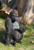 Male gorilla Royalty Free Stock Images