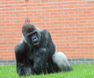 Male gorilla. Sitting in its zoo enclosure Royalty Free Stock Images