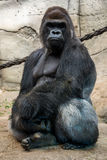 Male gorilla Royaltyfria Bilder