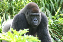 Male Gorilla Royalty Free Stock Image