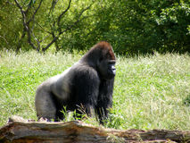 Male Gorilla. A large male Silverback Gorilla stock photo