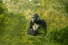 Male Gorilla Stock Image