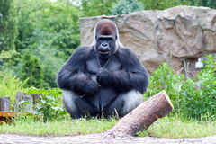 Male gorilla. Male black big gorilla sitting on the grass Royalty Free Stock Photo