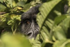 An almost human gaze in the Impenetrable Forest of Bwindi