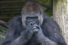 Gorilla chewing his nails royalty free stock images