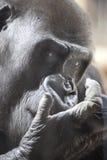 Male Gorilla Close-Up. Close-up of a male gorilla in a zoo in Prague Stock Photo