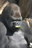 Male Gorilla eating a cucumber Stock Image