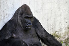 Male gorilla portrait looking at camera Royalty Free Stock Images