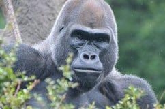 Male gorilla in the rain 2 3. A male western lowland gorilla sits in a tree in the rain Stock Images