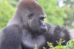 Male gorilla in the rain 2. A male western lowland gorilla sits in a tree and vocalizes in the rain Royalty Free Stock Image