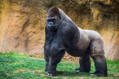 Male gorilla with silver back. Male gorilla with silver back looking Royalty Free Stock Photo