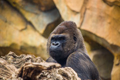 Male gorilla with silver back at zoo.  Stock Photography