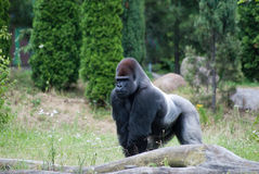 Male  gorilla. Male silver gorilla walking through forest Stock Photography