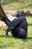 Male gorilla silverback Stock Photos