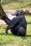 Male gorilla silverback. Male gorilla with silverback sitting on grass Stock Photos