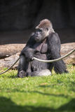Male gorilla sitting on grass Royalty Free Stock Photography