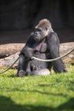 Male gorilla sitting on grass. Male silver back gorilla sitting on grass Royalty Free Stock Photography