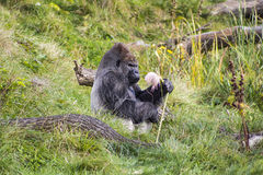 A male Gorilla sitting in grass snacking. A male Silver Back Gorilla sitting alone in the grass snacking on a pampas grass in Dublin Zoo Royalty Free Stock Images