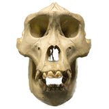 Male gorilla skull isolated on white Stock Photography