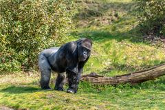A male gorilla is standing on the grass looking royalty free stock images