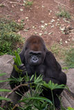 Male gorilla staring at the camera with a smile Stock Images