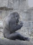 Male gorilla and a stick. A young male western lowland gorilla holds a stick over his head Stock Photography