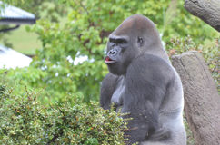 MALE GORILLA IN TREE. A male western lowland gorilla sits in a tree and vocalizes Royalty Free Stock Photography