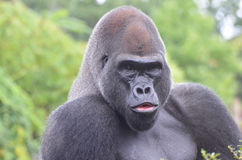 MALE GORILLA IN TREE 3. A male western lowland gorilla sits in a tree and vocalizes Stock Photography