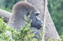MALE GORILLA IN TREE 2. A male western lowland gorilla sits in a tree and vocalizes in the rain Stock Photography