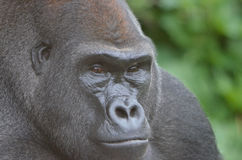 Male gorilla2. A male western-lowland gorilla sits and stares downward Royalty Free Stock Images