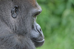 Male gorilla 3. A male western-lowland gorilla sits and stares downward Royalty Free Stock Photography