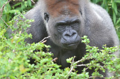 Male gorilla 4. A male western-lowland gorilla waits in the vegatation Stock Images