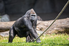 Male gorilla Royalty Free Stock Photo