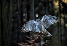 A male Goshawk (Accipiter gentilis) landing on the stump in forest. Stock Photography