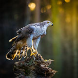 A male Goshawk Accipiter gentilis sitting on the stump in forest. Stock Images