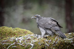 Male Goshawk Royalty Free Stock Photography