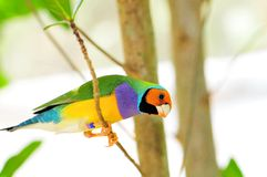 Male Gouldian Finch Royalty Free Stock Photo